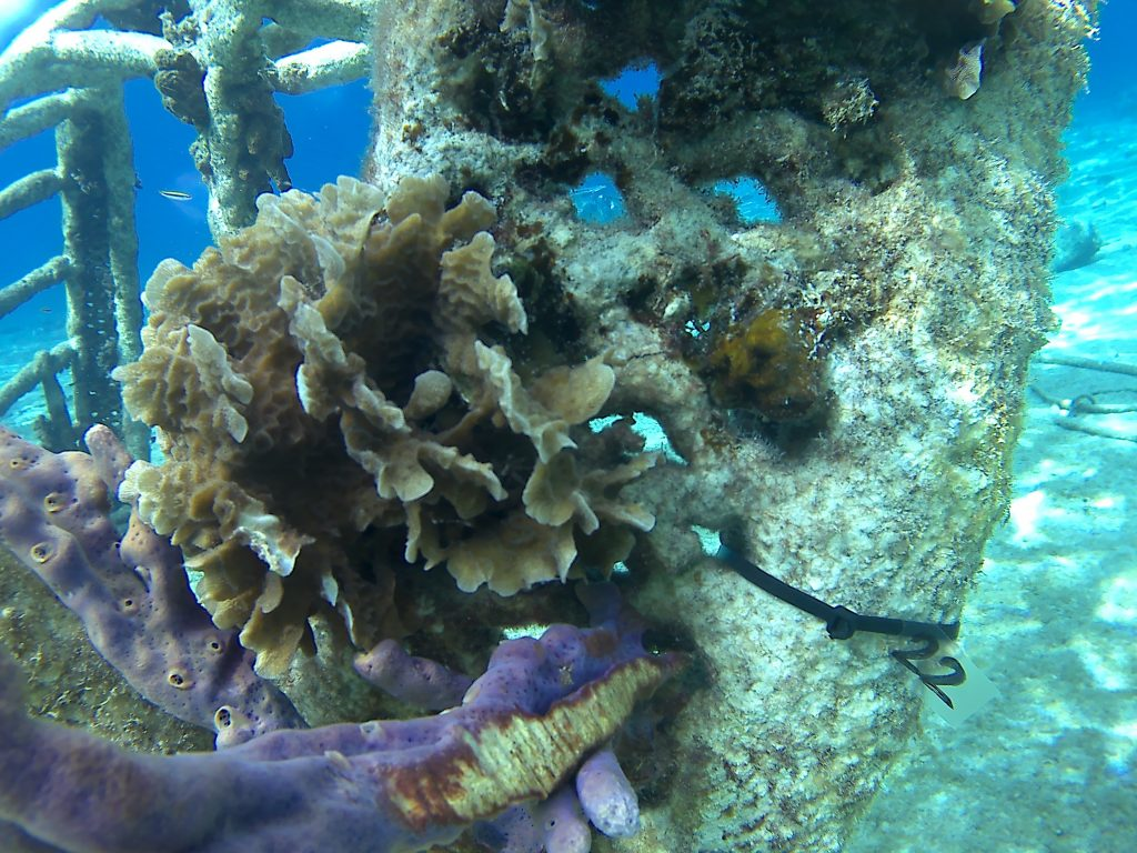 tagging corals for Coral Research at Zoe - A Living Sea Sculpture