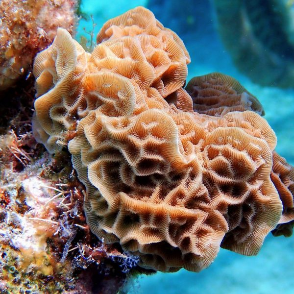 Agaricia agaricites | Coral Adoption | Living Sea Sculpture